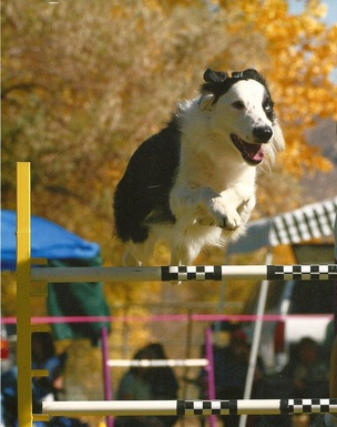 Do I Really Want A Border Collie Border Collie Rescue Of Northern