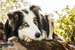 Application To Adopt Border Collie Rescue Of Northern California